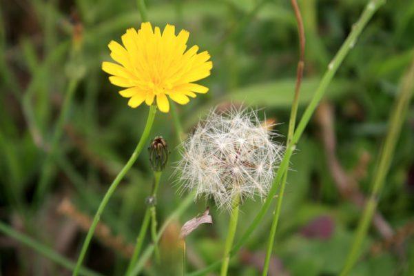 hoa bồ công anh thành phần trong tế bào gốc kismet